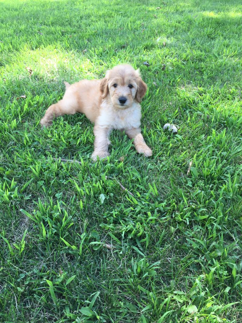 Attention Iowa, Minnesota, Illinois, and Wisconsin, Male Standard Goldendoodle Puppy for Sale $950