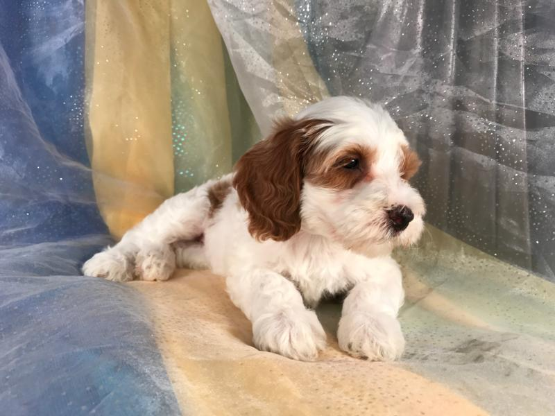 Dark Red and White Female Cockapoo Puppy for Sale, Breeder 6