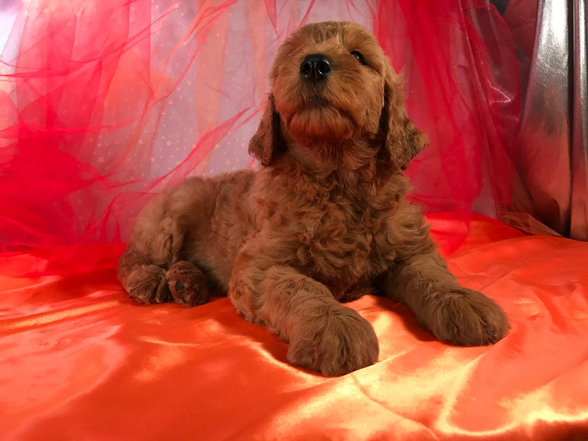 Standard Doodle Puppies for sale