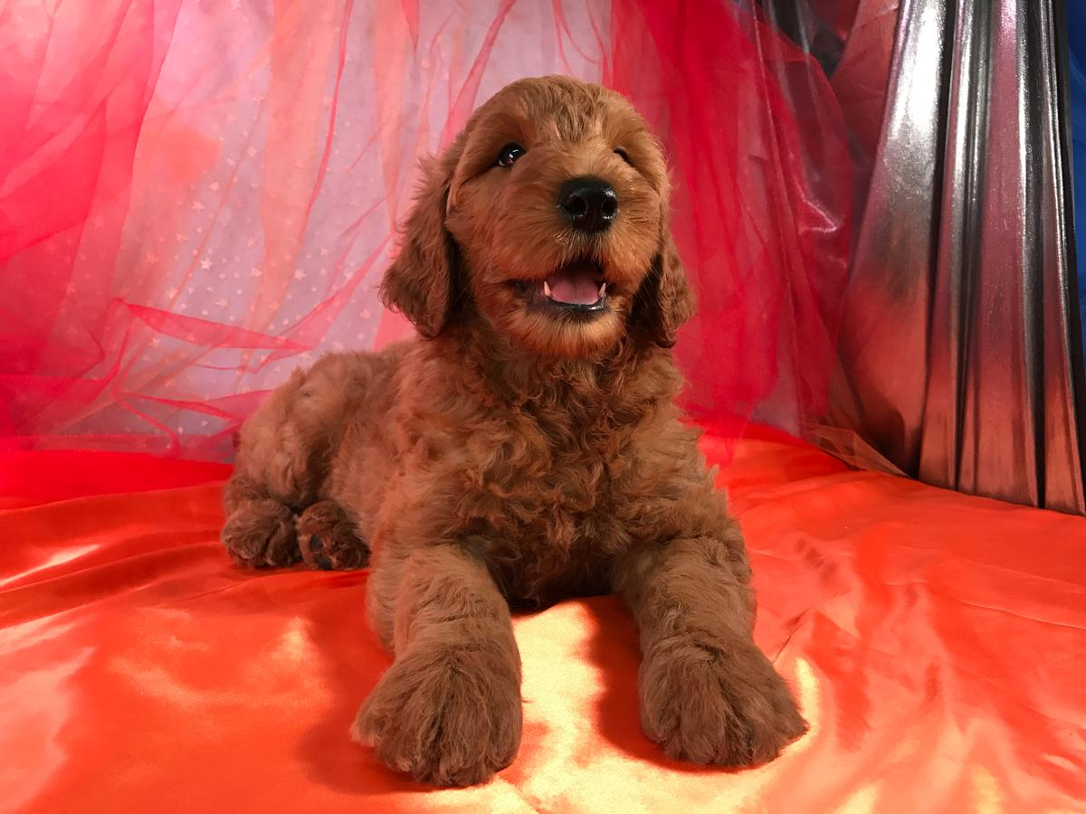 Dark Red Standard Goldendoodle Breeders Located Near Joice Iowa, 50446