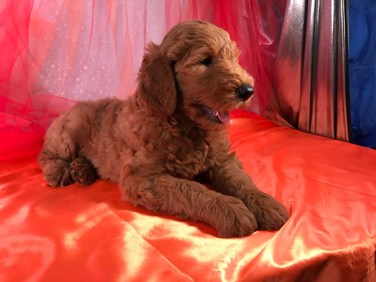 Side view Golden Doodle Puppy, Reds