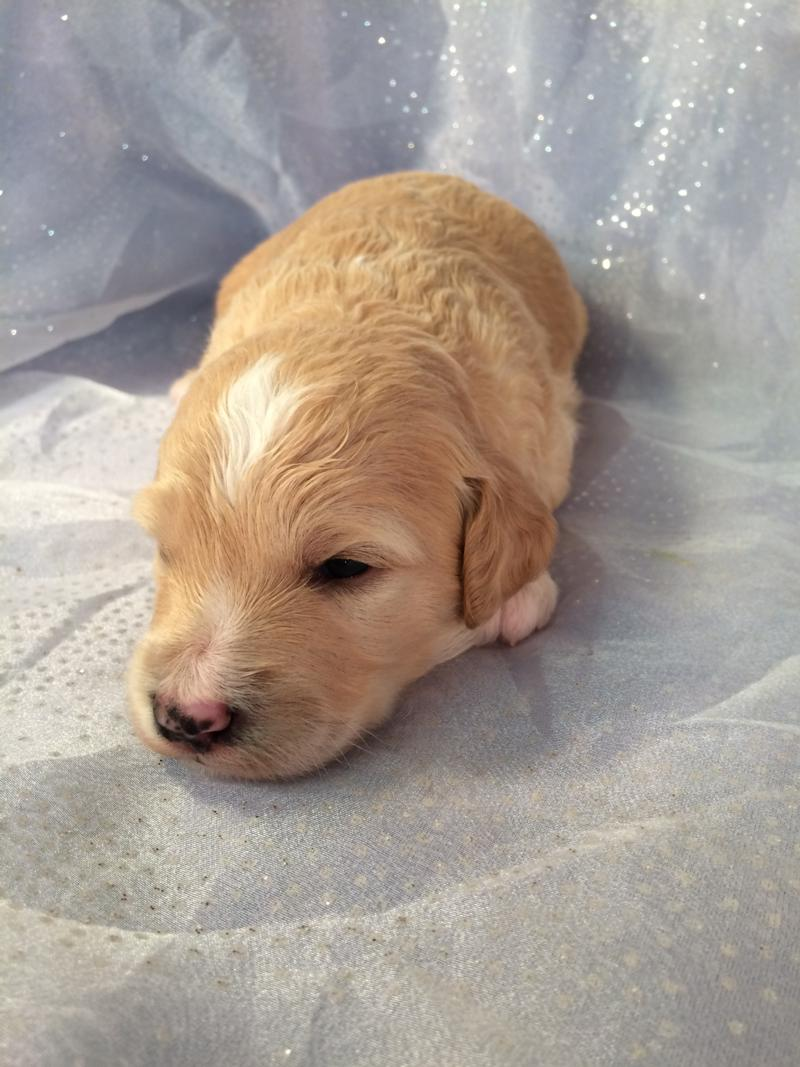 Face shot, Mini goldendoodle pup for sale, Iowa,IL,WI,MN,Breeders