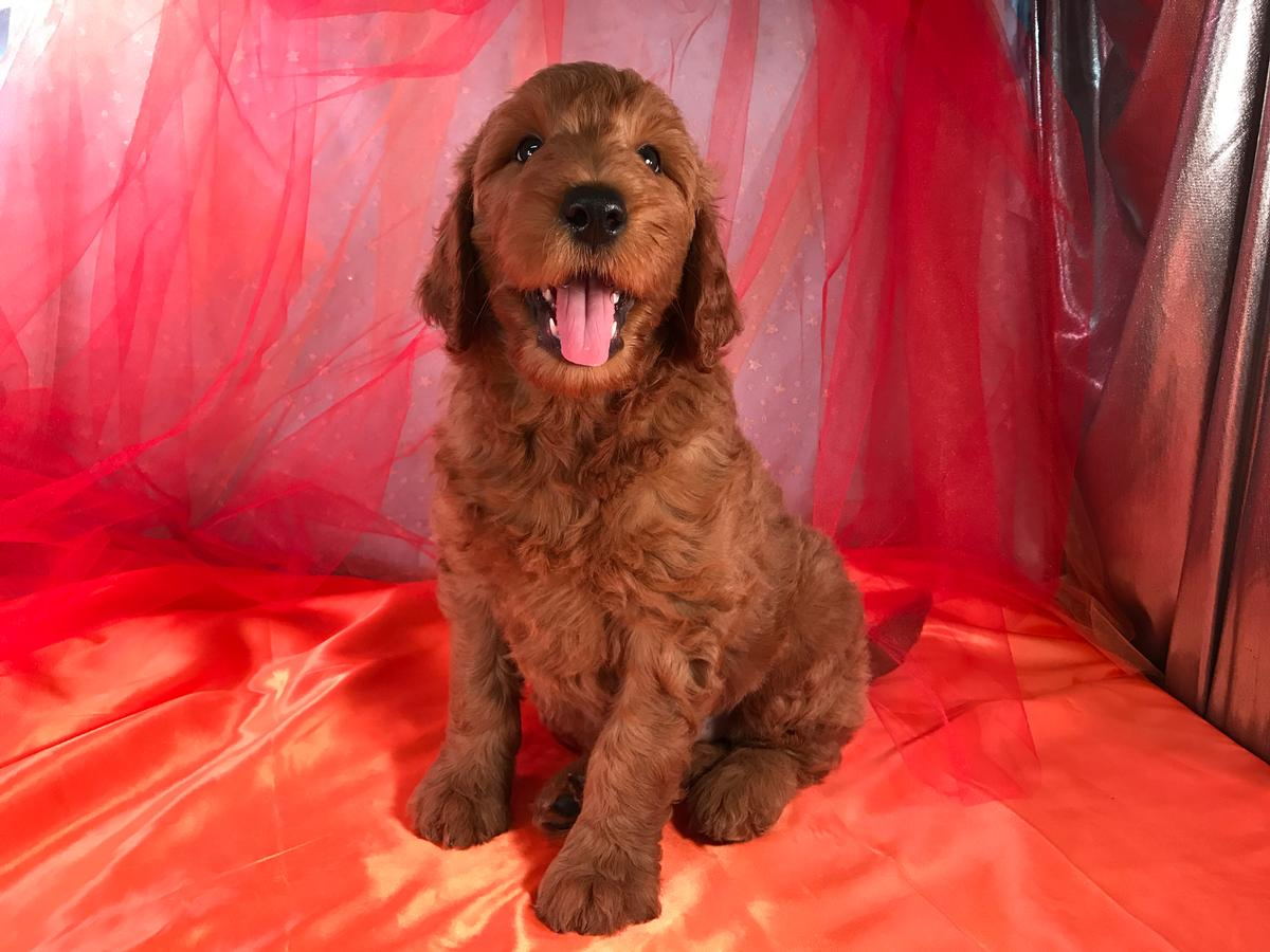 Great male Goldendoodle Breeders