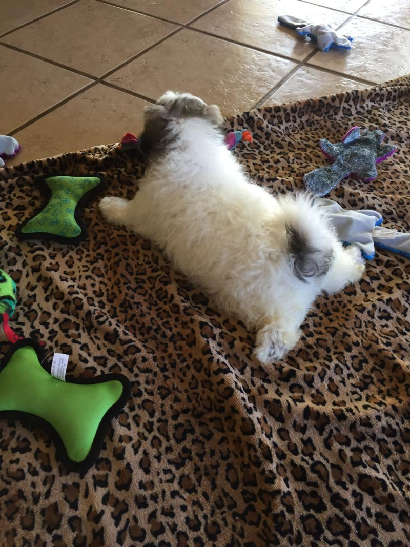 Available Male Shih tzu Bichon Puppy!  Very Cute Markings. Ready Now! 2