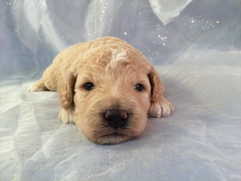 Mini Goldendoodle Puppies for Sale!  Iowa Breeder!  Short Drive From Illinois, and Wisconsin!