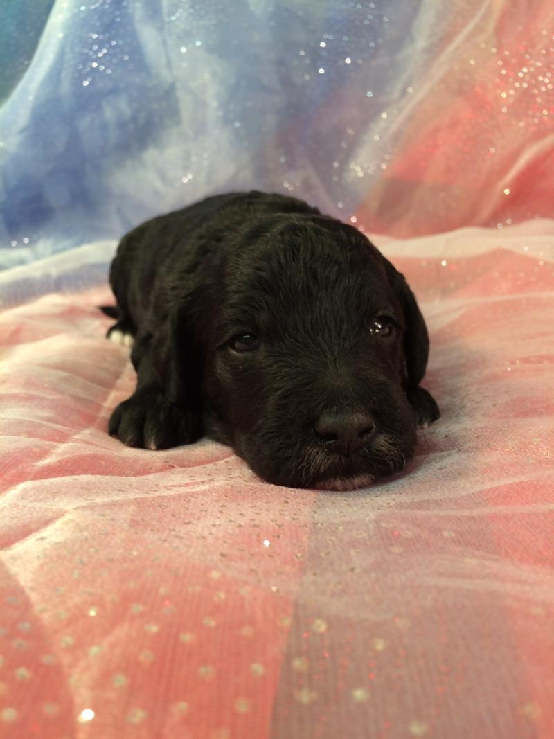 Black and White Miniature Goldendoodle Pup for Sale