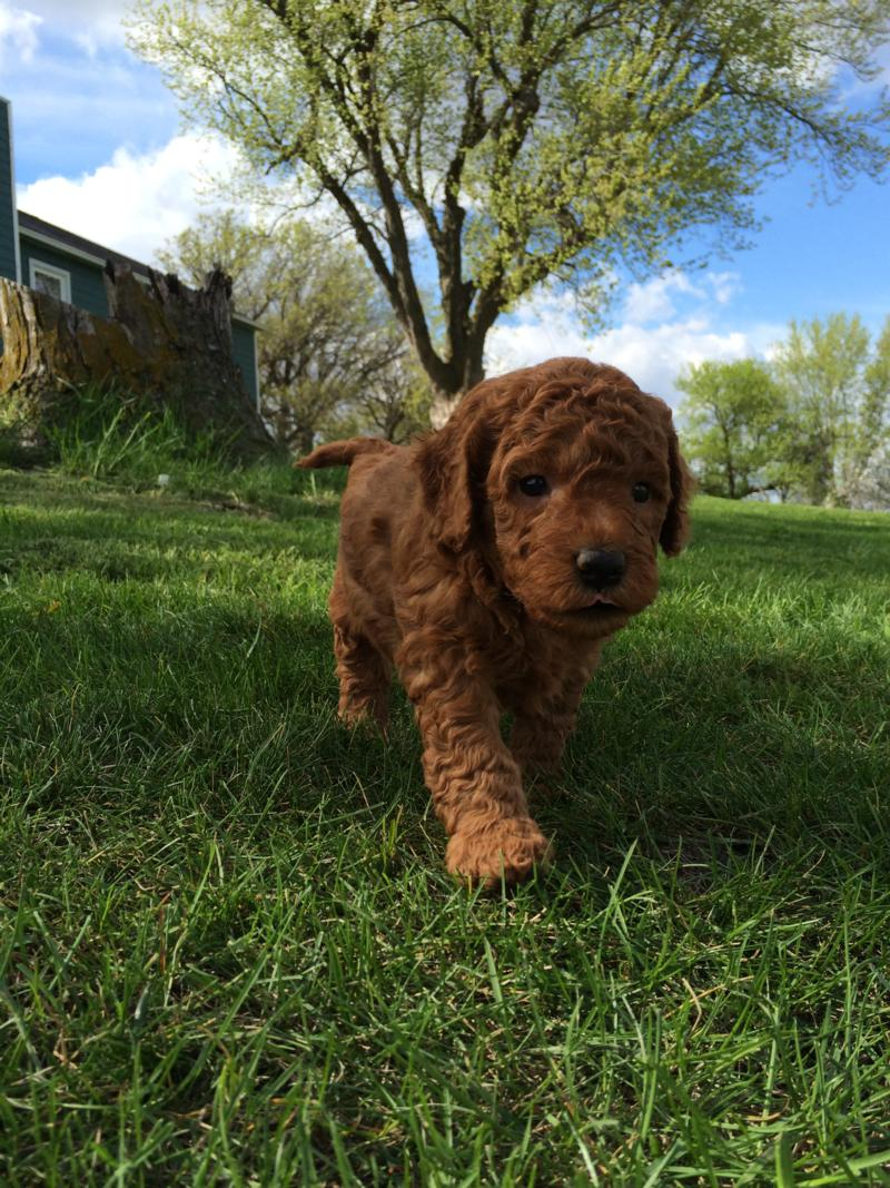 Miniature Goldendoodle Pup for sale,IA,MN,IL,WI,Breeder,Red,Dark,Apricot
