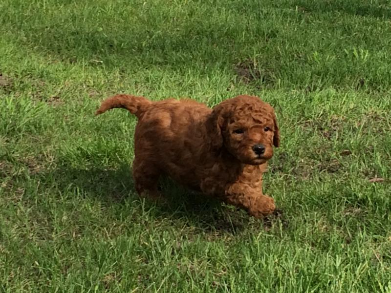 Red and apricot, Puppies for sale,Iowa,Minnesota,Illinois,Wisconsin,Mini Goldendoodle Breeders,from,in,Dark