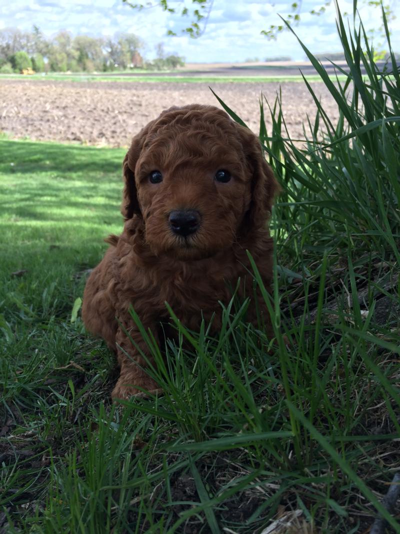 Dark Red Miniature Goldendoodle Pup for Sale In Northern Iowa. Short Drive for Mini buyers located in Illinois, Minnesota, and Wisconsin.