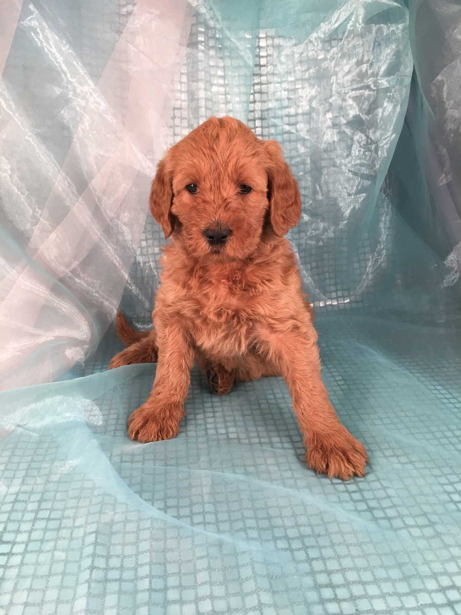 Female Labradoodle Puppy for Sale in Iowa
