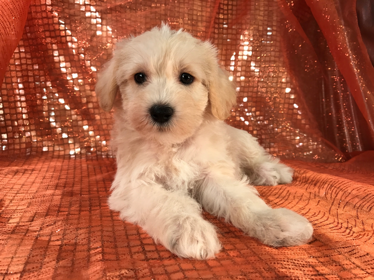 Mini Schnoodle Pup Available in North Iowa $950
