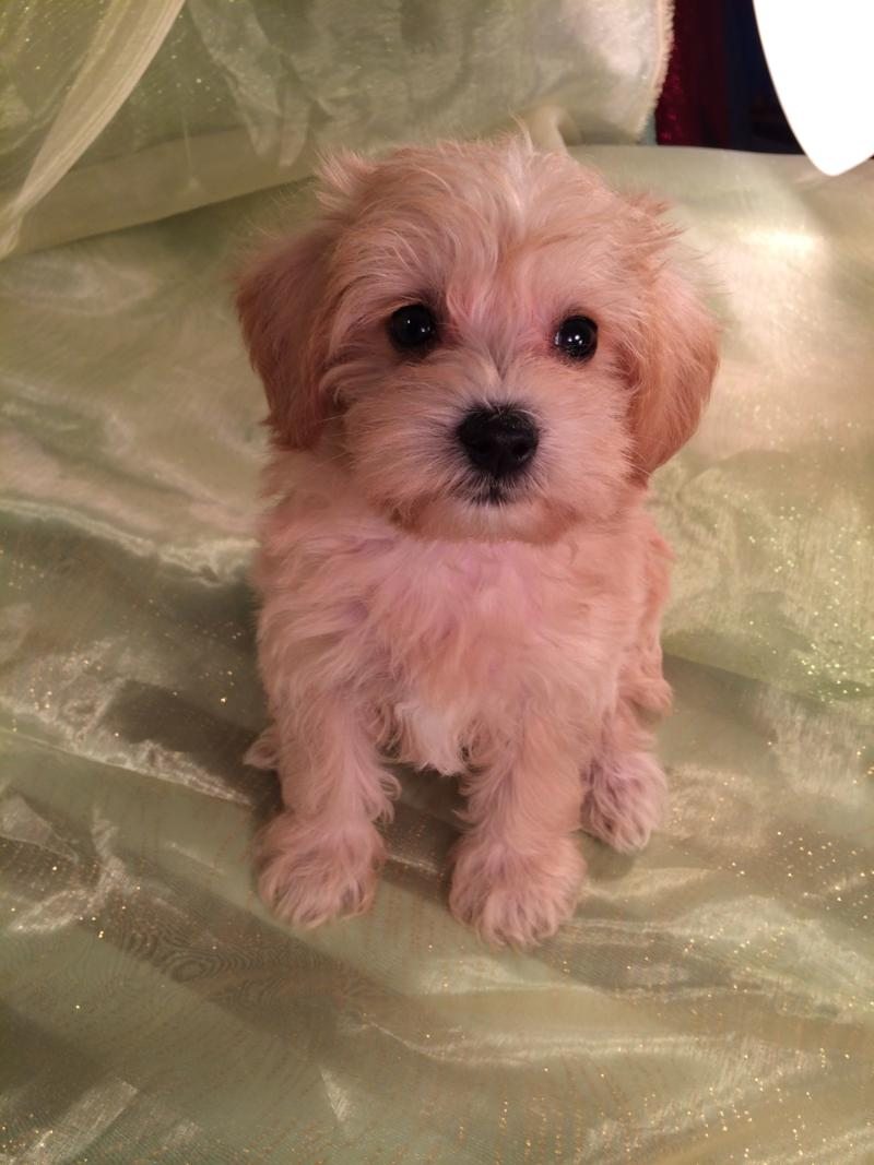 Attention Iowa, Minnesota, Illinois, and Wisconsin, Male Apricot Miniature Schnoodle Puppy for Sale $750