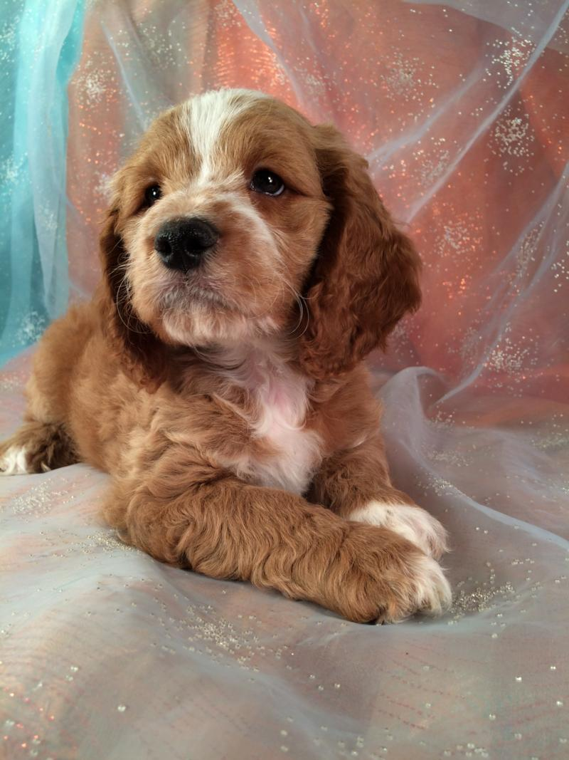 Male Cockapoo, Red Pup, For sale, IA,MN,WI,IL