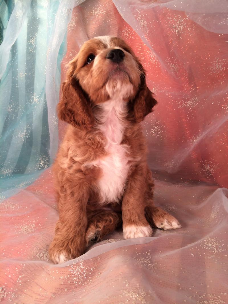 Professionally Bred, Cockapoo, Red puppy, for sale, Iowa Breeders