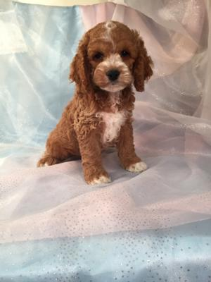 Cockapoo male.    The Cockapoo For Sale was Born 9-6-15.