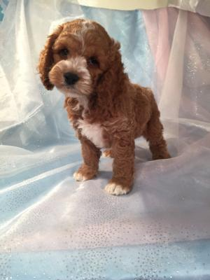 Cockapoo male.    The Cockapoo For Sale was Born 9-6-15. 2