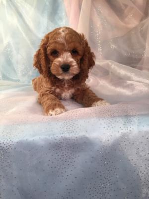 Cockapoo male.    The Cockapoo For Sale was Born 9-6-15. 3