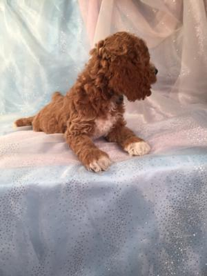 Cockapoo male.    The Cockapoo For Sale was Born 9-6-15. 4