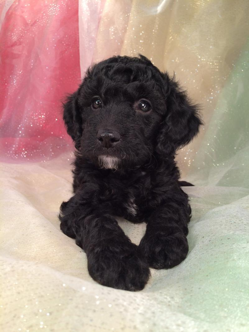 Black Male Mini Goldendoodle Breeder Ia Wi Il Mn