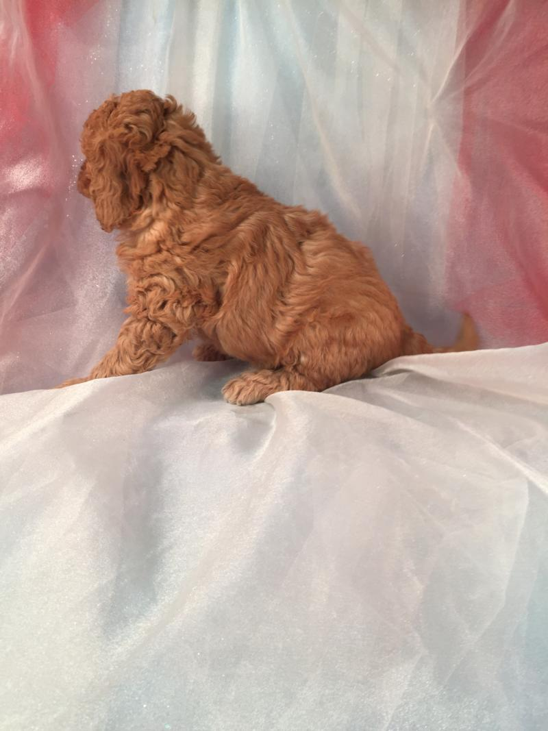 Ready Soon- Red Miniature F1b Goldendoodle Puppy for Sale!  Born 9-1-2016  2