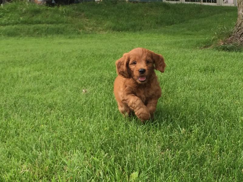 Have you been looking for dark red Miniature Goldendoodles for sale in Illinois, Wisconsin, Minnesota, or Michigan?  Try Iowa's top dog breeder!  Puppies available NOW!