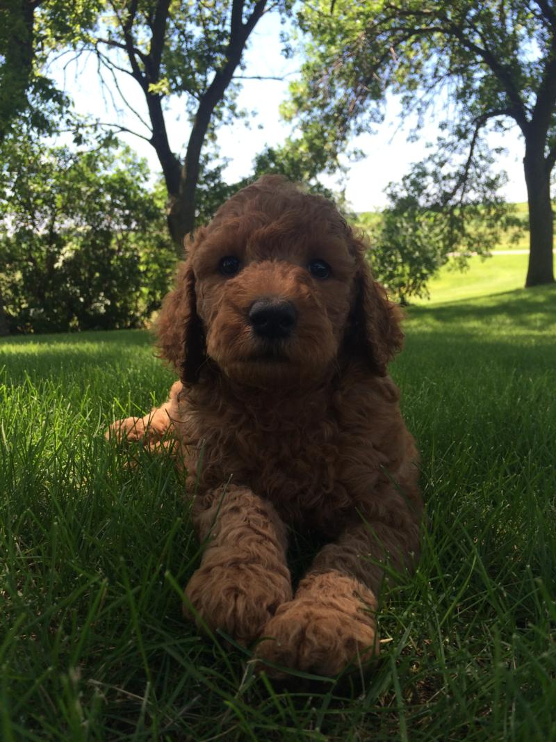 Dark Red Male Labradoodle Pup for Sale In North Iowa $750