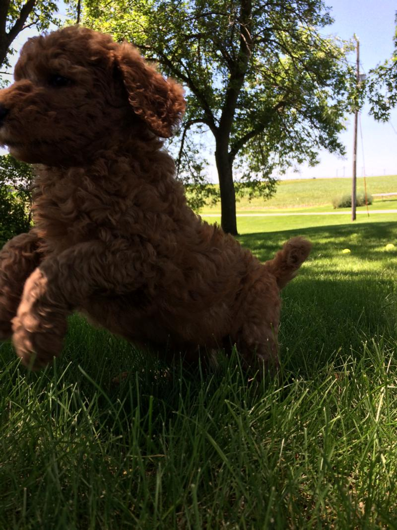 Jumping Labradoodle puppy, breed, for sale,