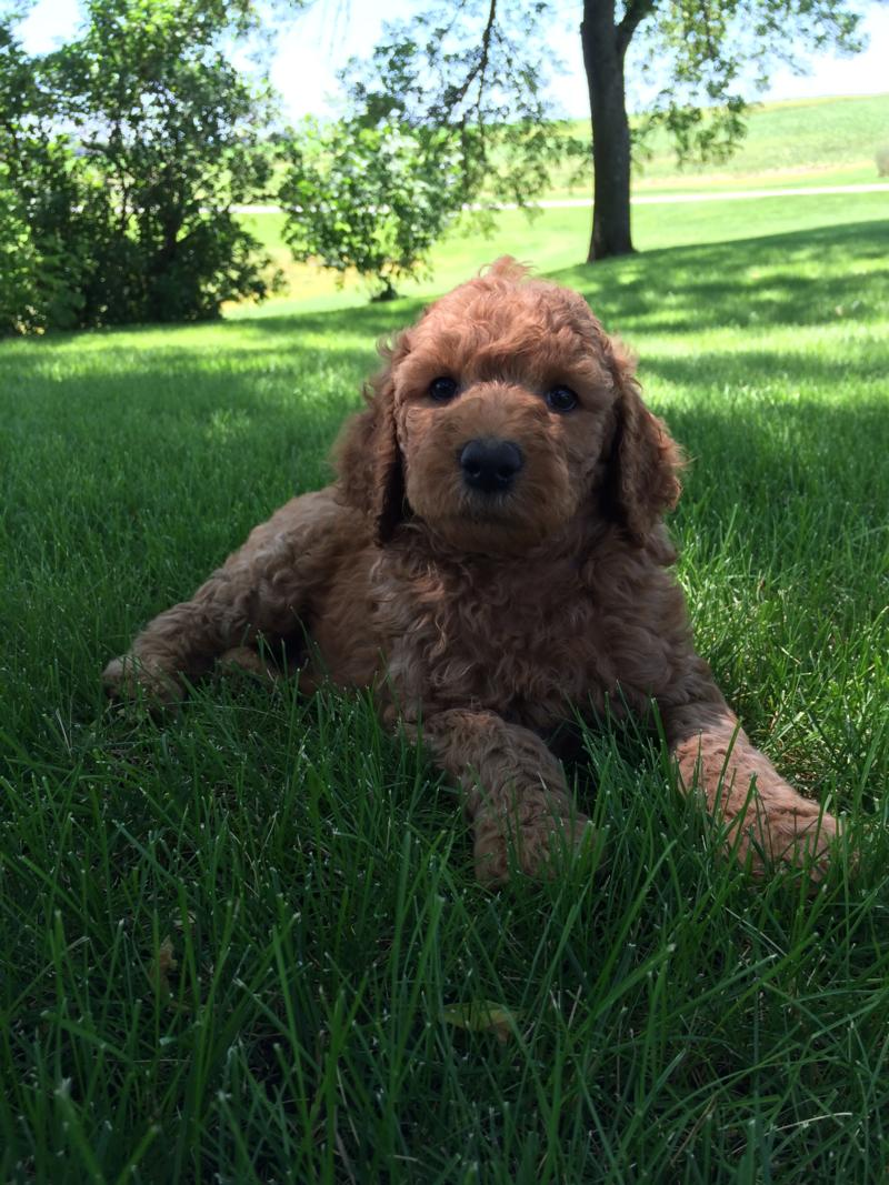 Dark Red Male Labradoodle Pup for Sale In North Iowa $750 6