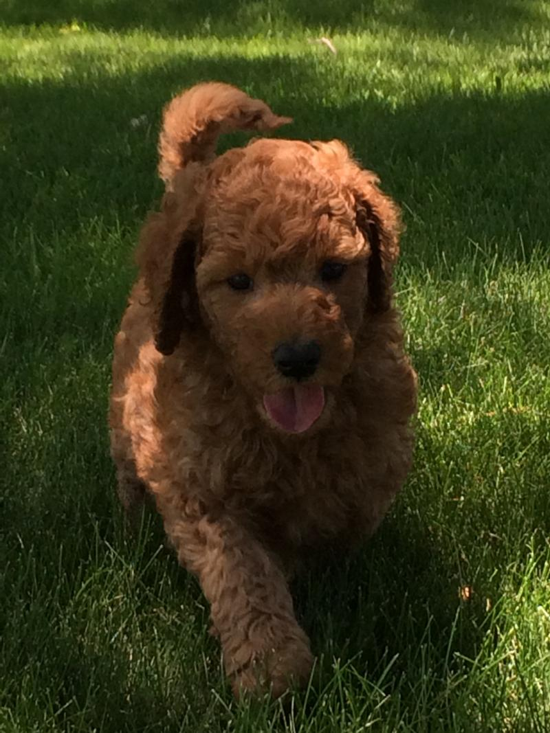 Labradoodles for sale, Red, Iowa, Illinois, Wisconsin, Michigan,Minnesota,labradoodle Breeders in