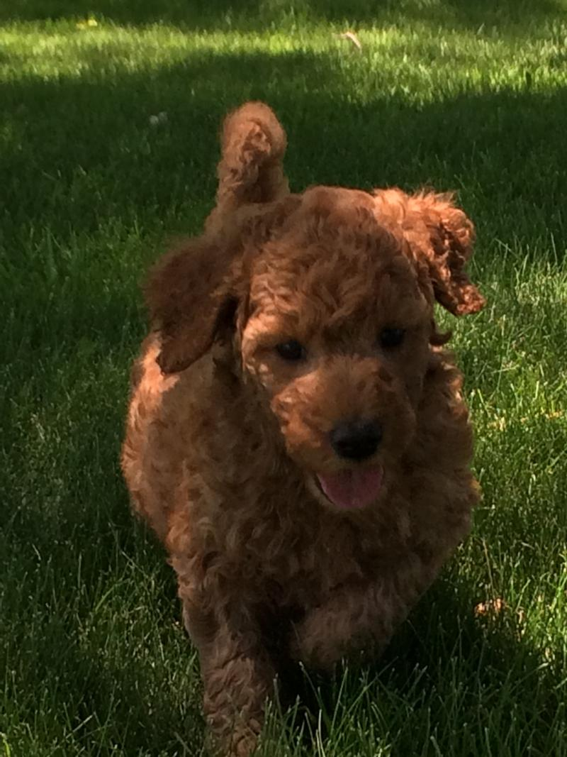 Male labradoodle Puppy for sale, Iowa Breeders, red