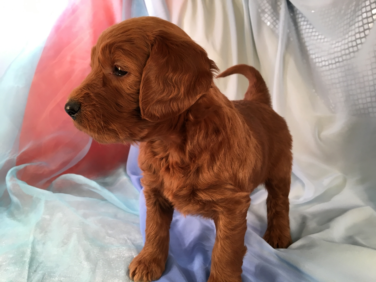 Dark Red Standard Goldendoodle Puppy Available in Iowa for $975