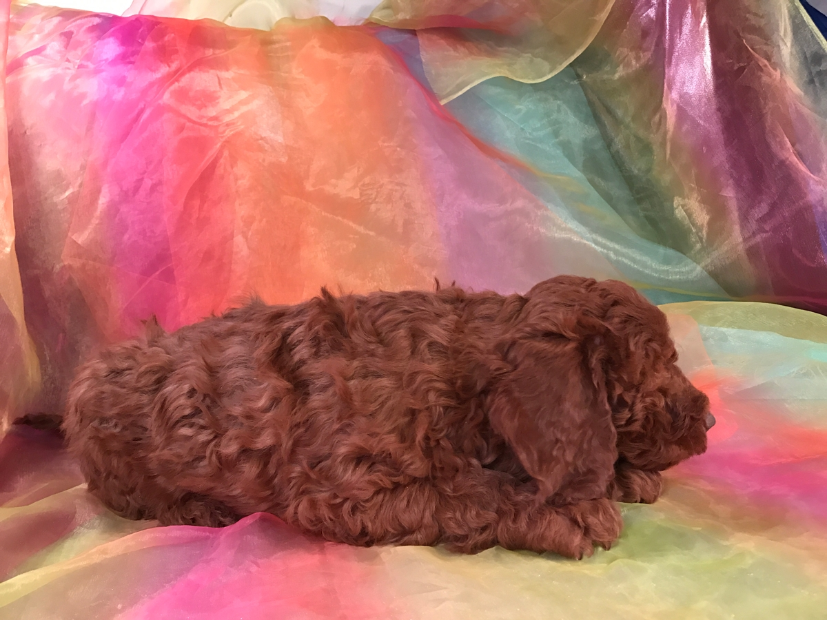 Dark Red Miniature Goldendoodle Breeders 2