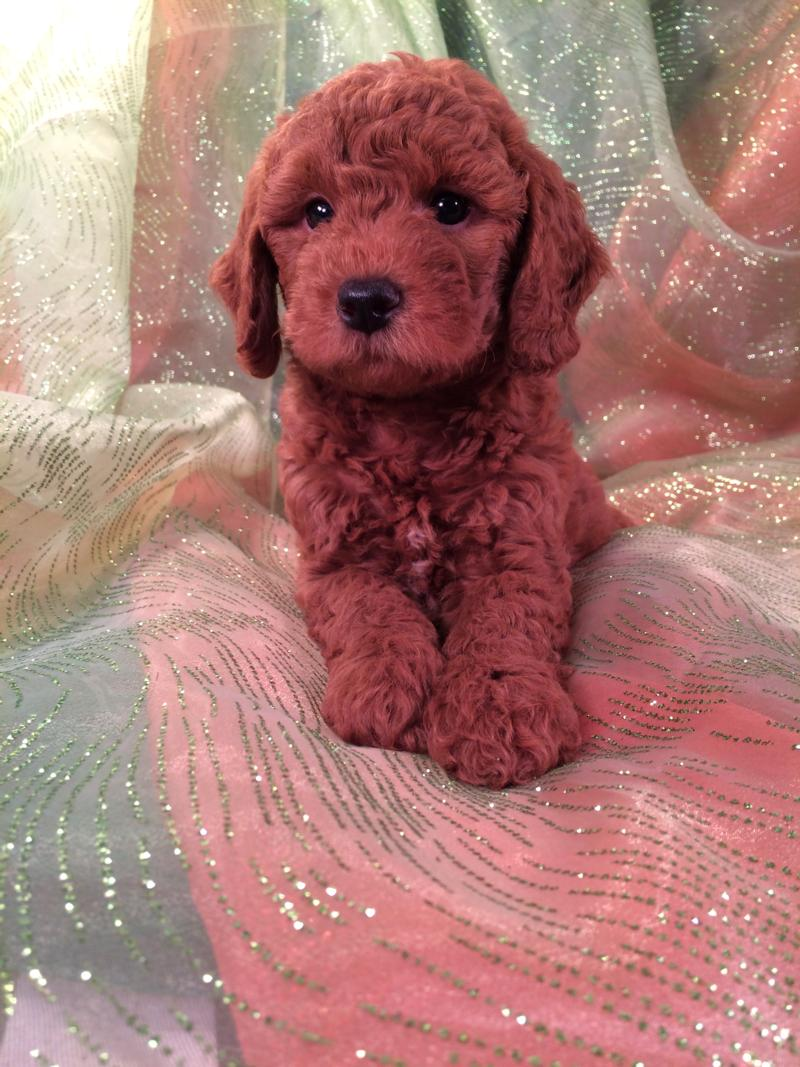 Male Bichon Poodle for sale near the Iowa Minnesota Border