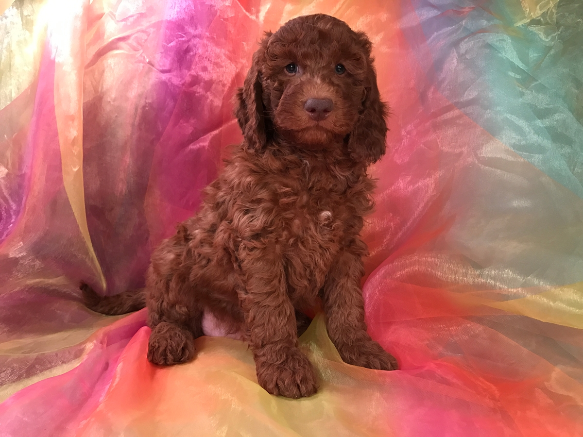 Dark Red Miniature Goldendoodle Breeders 5