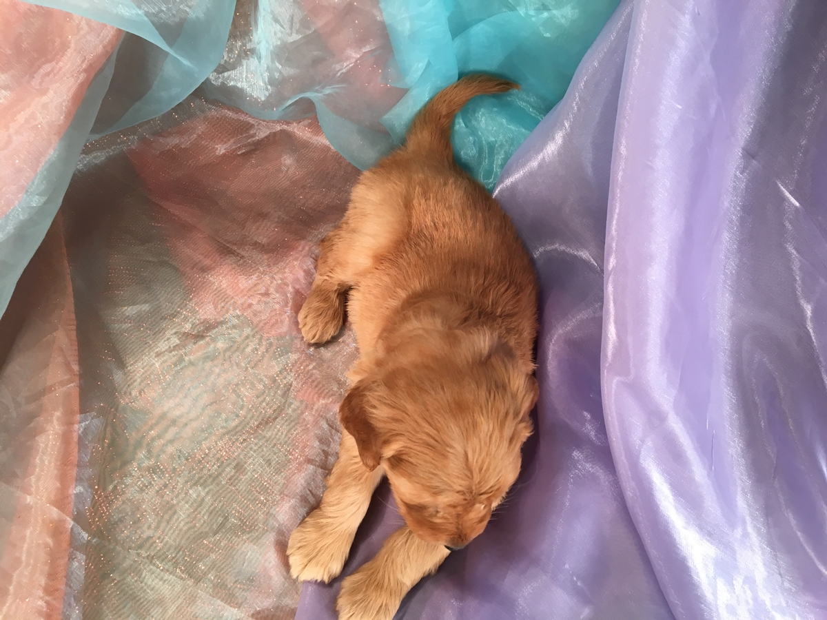Goldendoodle Puppies for Sale 4