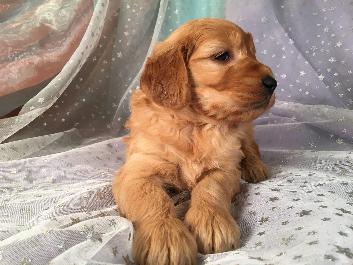 Goldendoodle Puppies for Sale 2