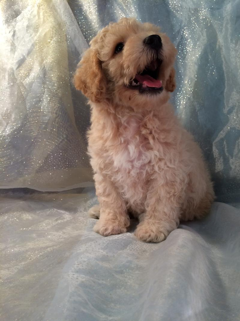 This Apricot Bichon Poodle Puppy Is Ready to Go Home! 6