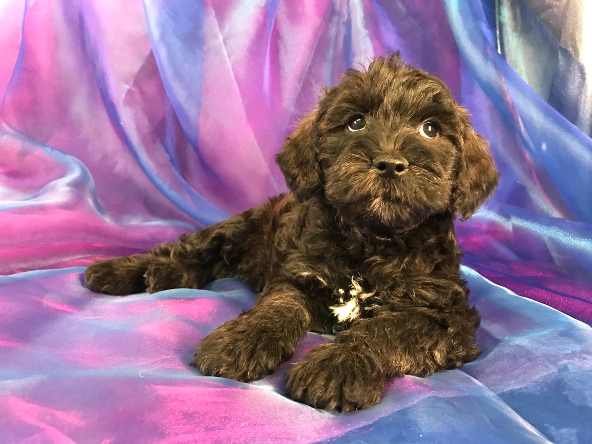 Miniature schnoodle puppy for sale- Female