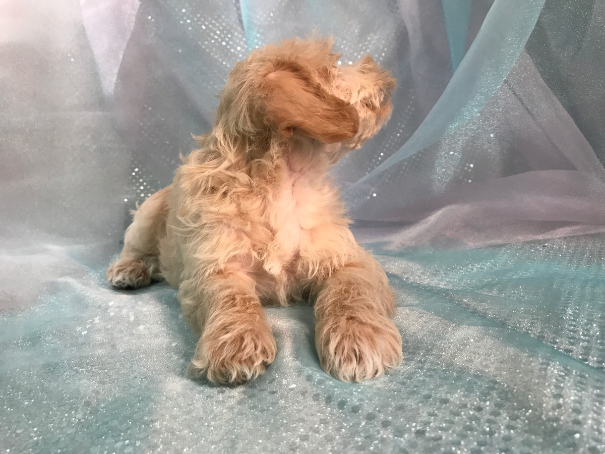 Miniature Schnoodle Pups bred in Iowa! 2
