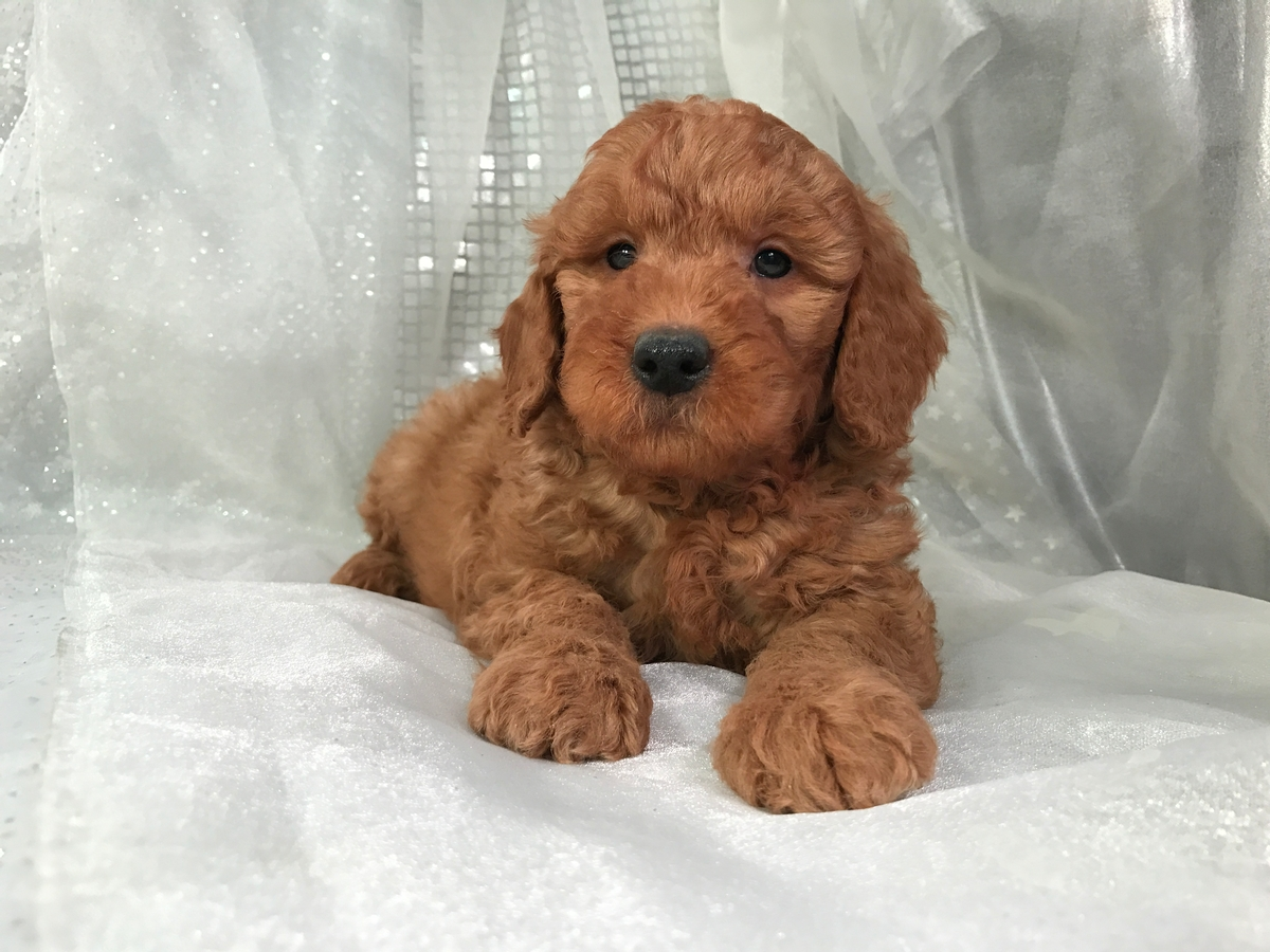 Goldendoodle Puppy for sale $950 6