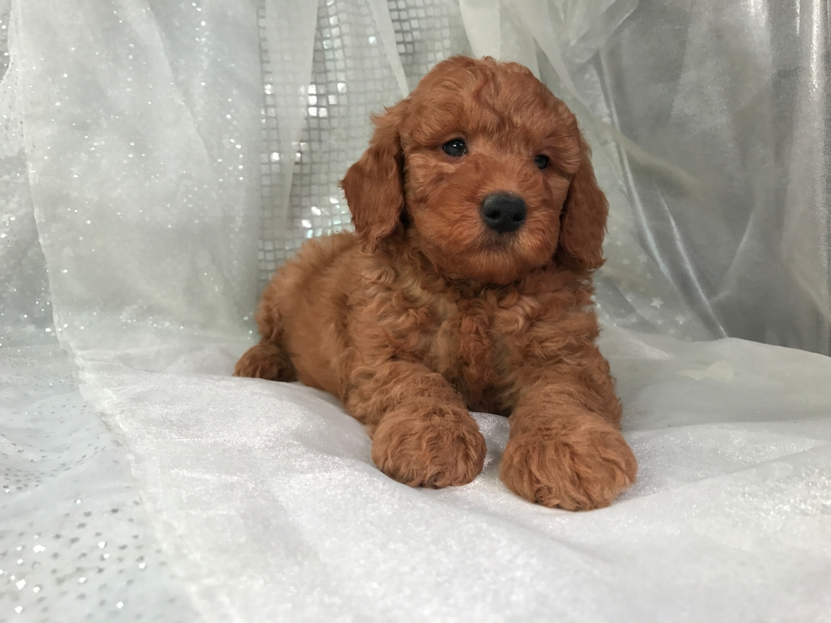 Goldendoodle Puppy for sale $950 5