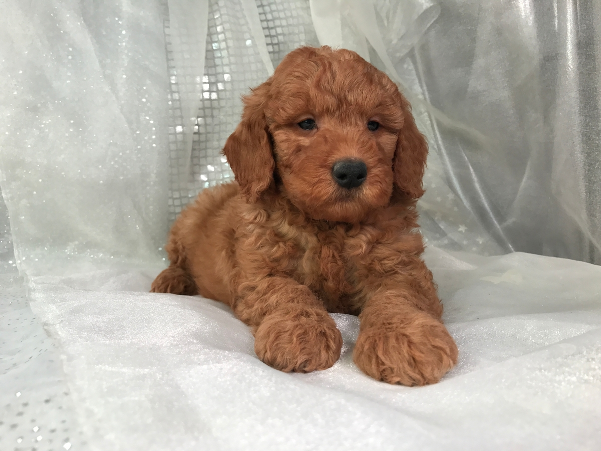 Goldendoodle Puppy for sale $950 4