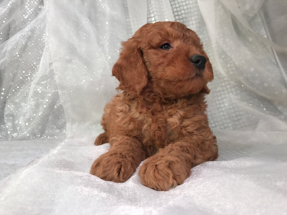 Goldendoodle Puppy for sale $950 3