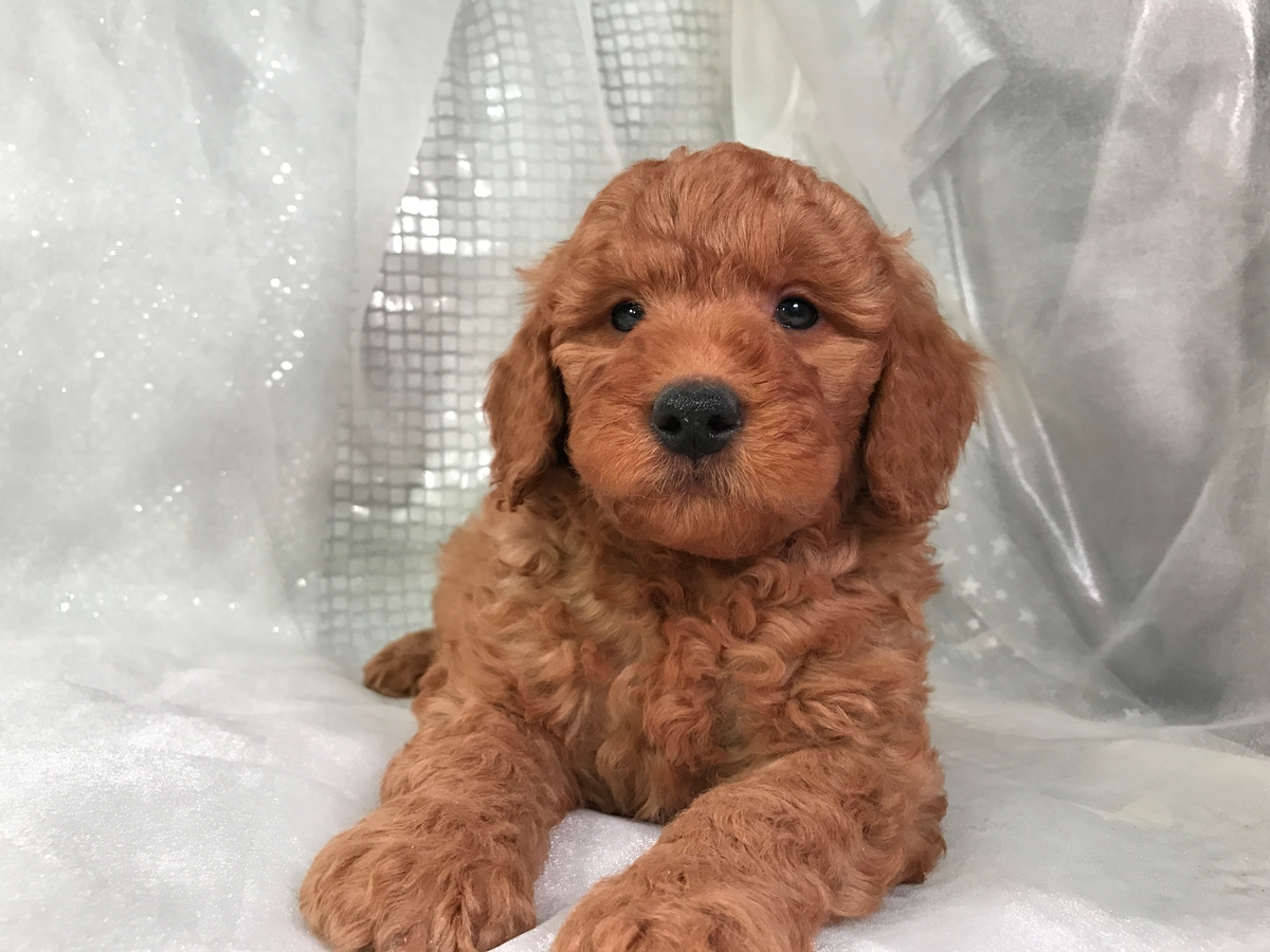 Goldendoodle Puppy for sale $950 2