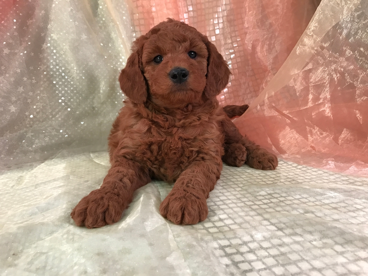 Silky Soft Dark Red Miniature Goldendoodle Puppy For Sale!