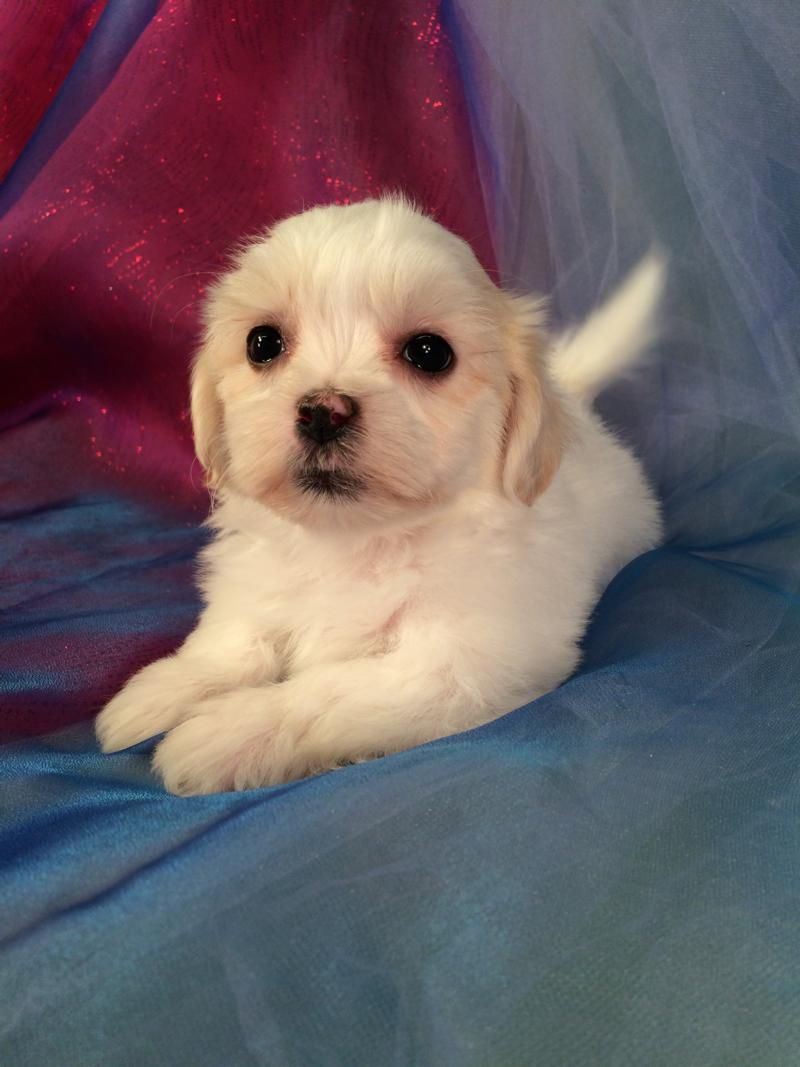 Female, teddy bear, Puppy for sale, IA,MN,IL,WI,MI