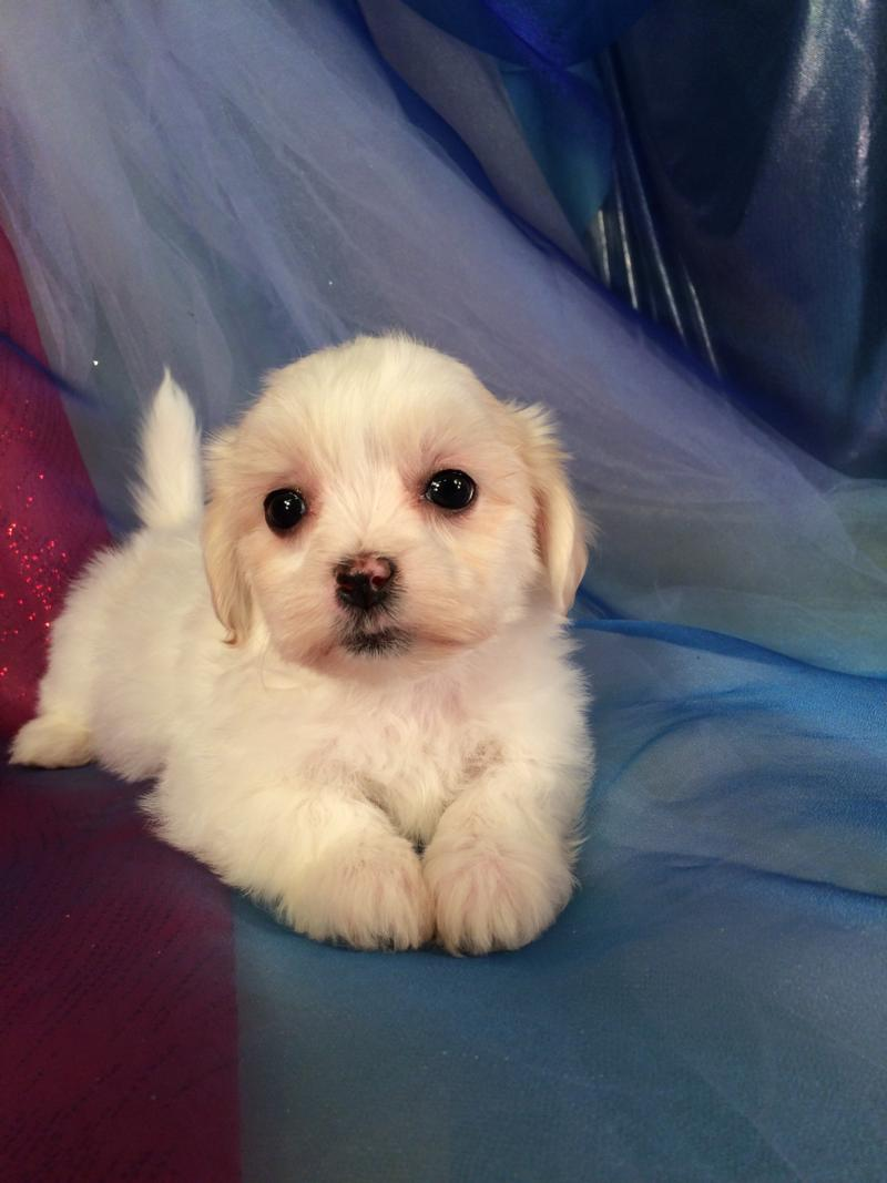 female Puppy for sale, white and apricot
