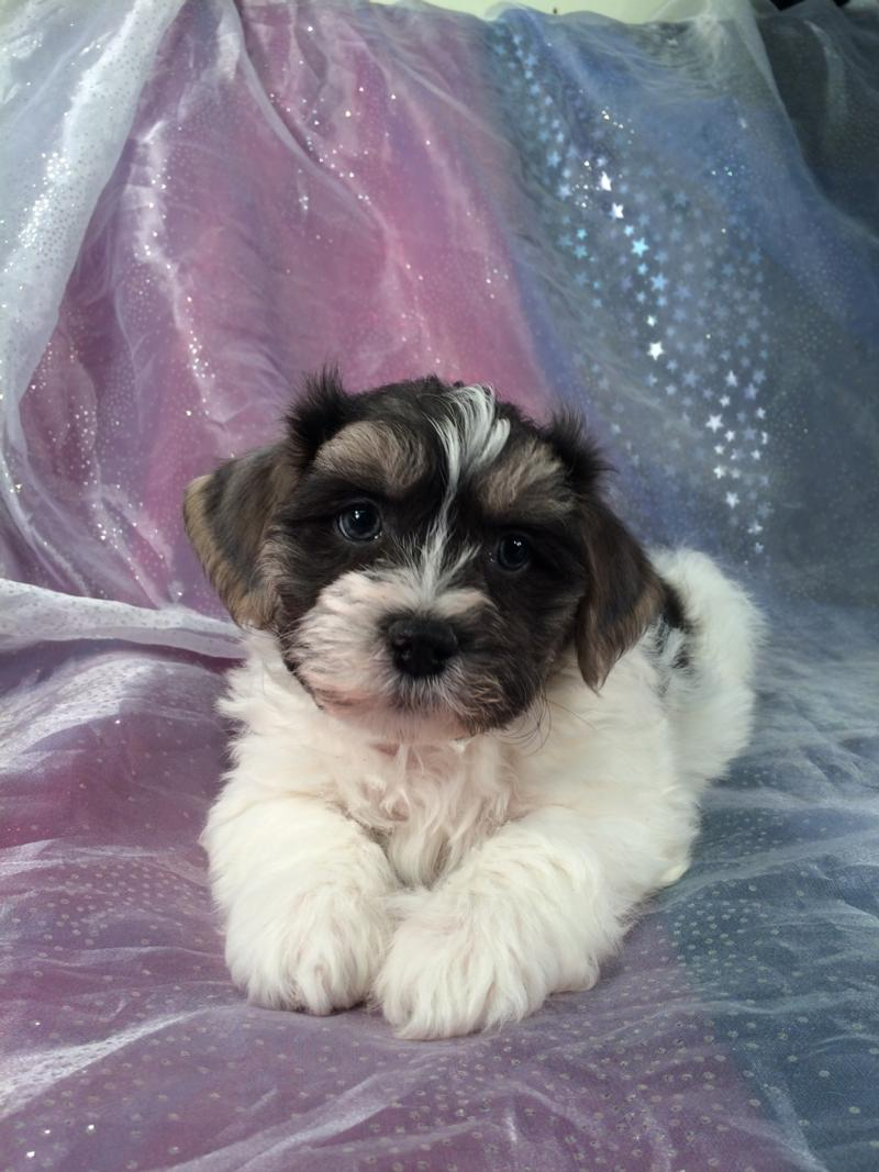 Extremely Rare Multi Length Hair Shih Tzu Bichon Puppy For Sale