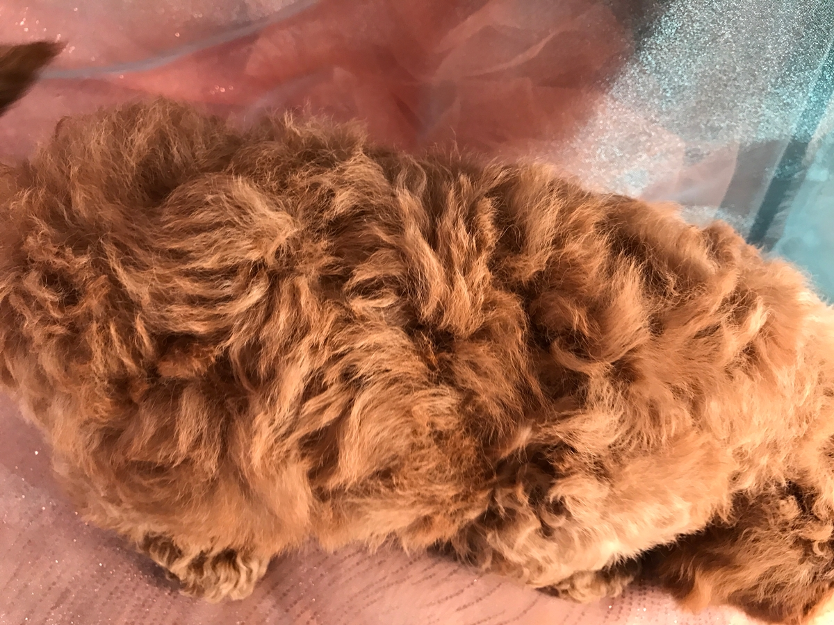 Bichon Poodle Puppies for Sale, Iowa Breeders 2
