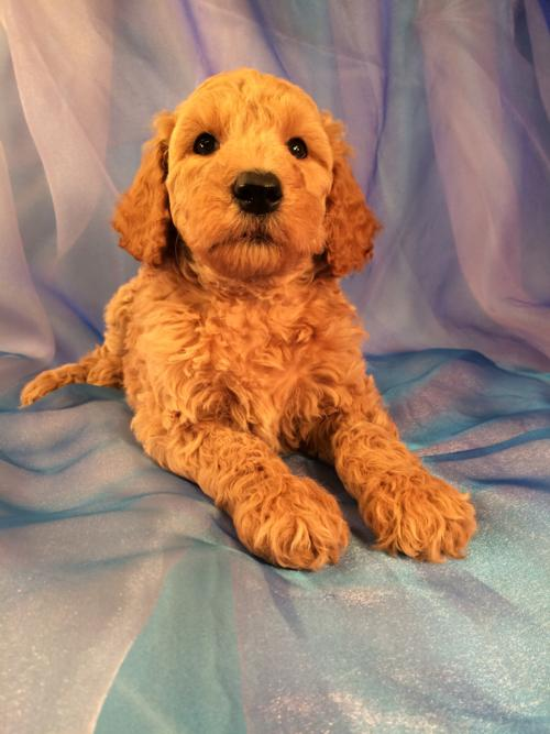 Apricot Male Standard Poodle Puppy for Sale in North Central Iowa